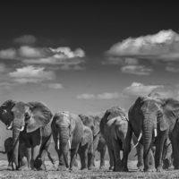 Elephants Uprising, Large size