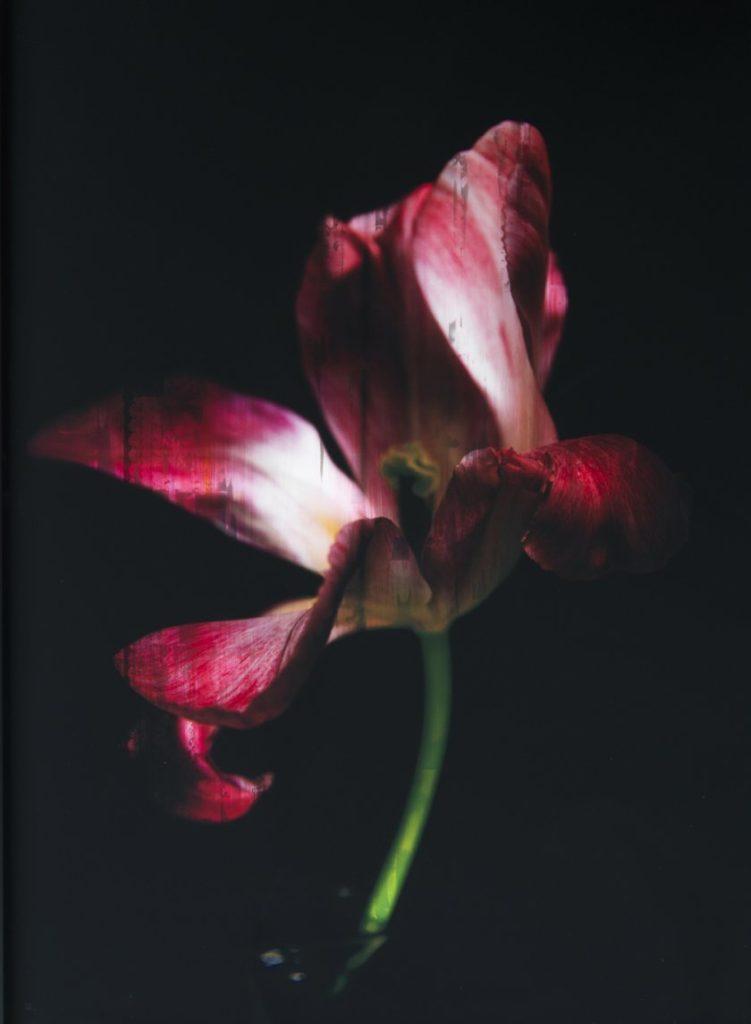 Tulipe Sauvage I