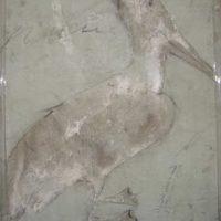 Pelican Verte