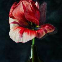 Tulipe Sauvage II