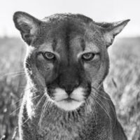 Smokey the Mountain Lion