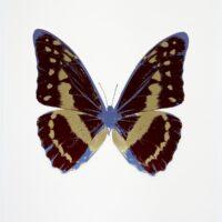 The Souls III – OC7972 Burgundy – Cool Gold – Cornflower Blue