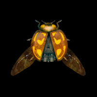 Ladybird- BLACK
