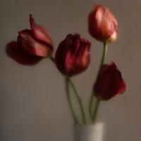 Tulipe Absolue I