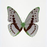 The Souls III Silvergloss – Chocolate – Leaf Green OC7948